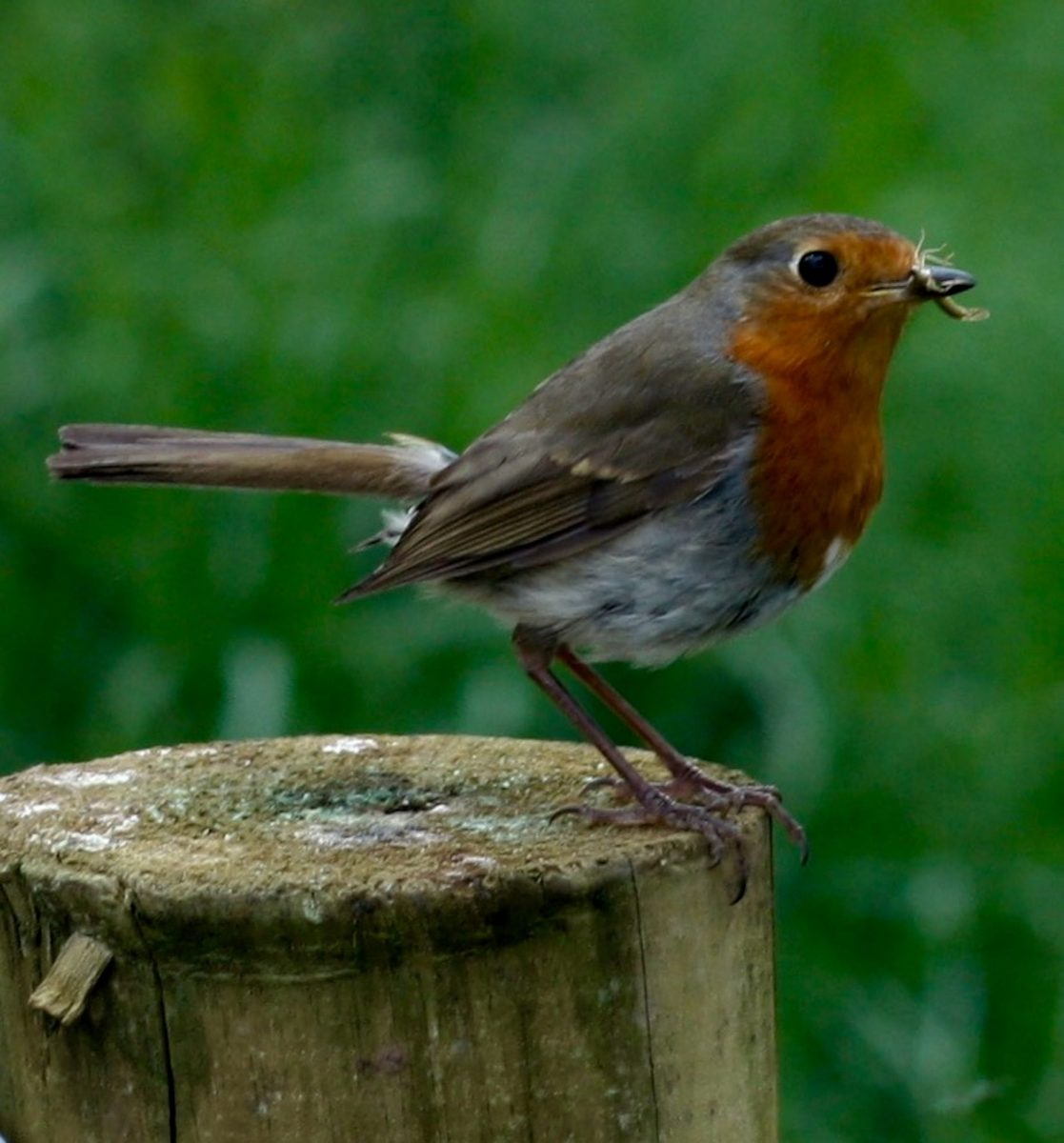 Red-breasted Robin