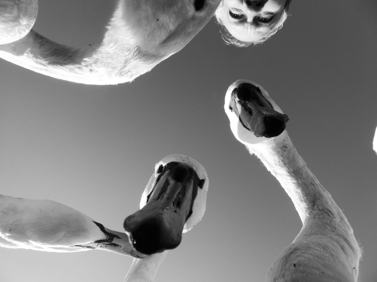 Swans looking down on into a camera. The artist's head is slightly in frame.