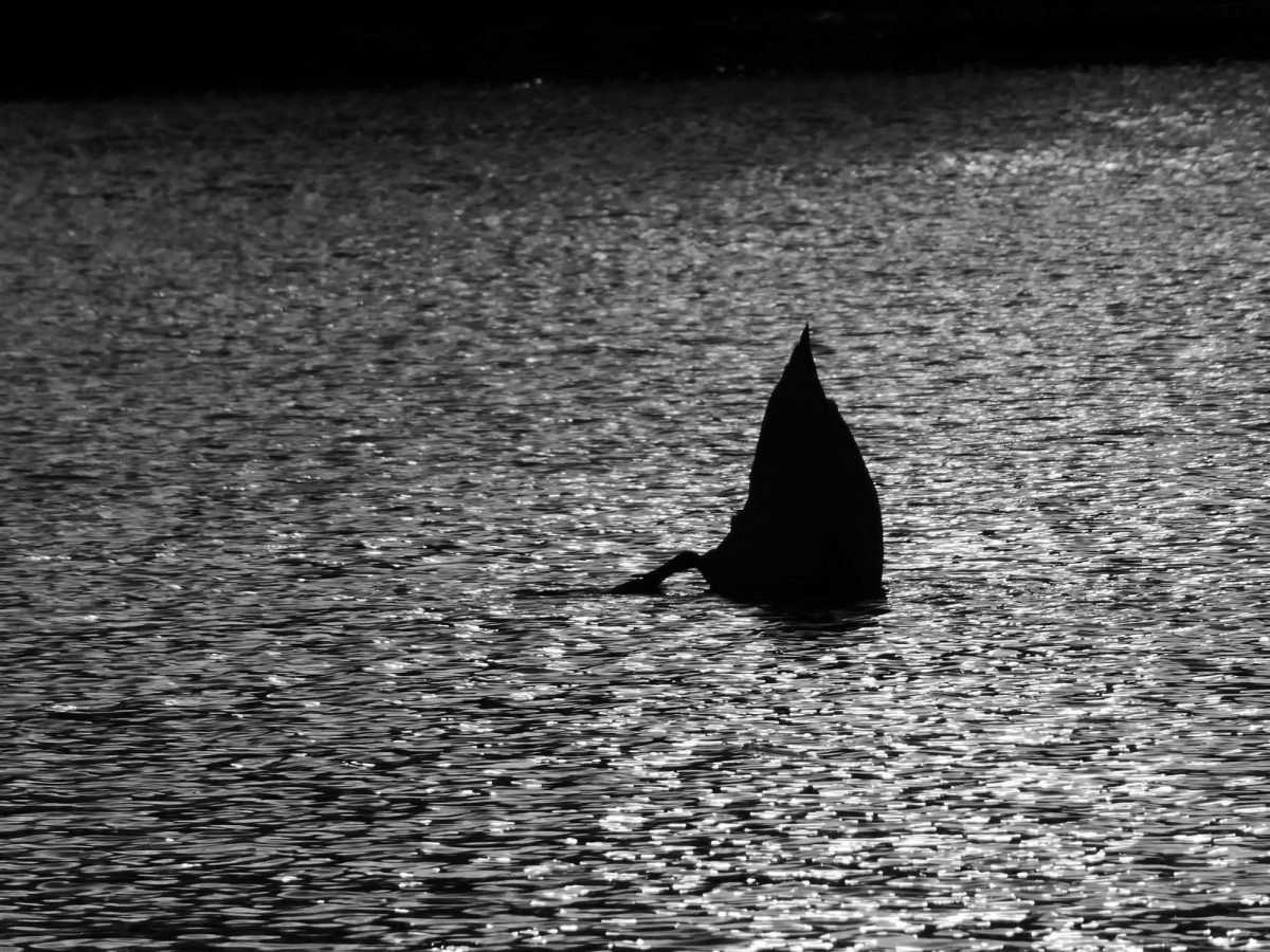 Silhouette of a swan on a river with its head beneath the water