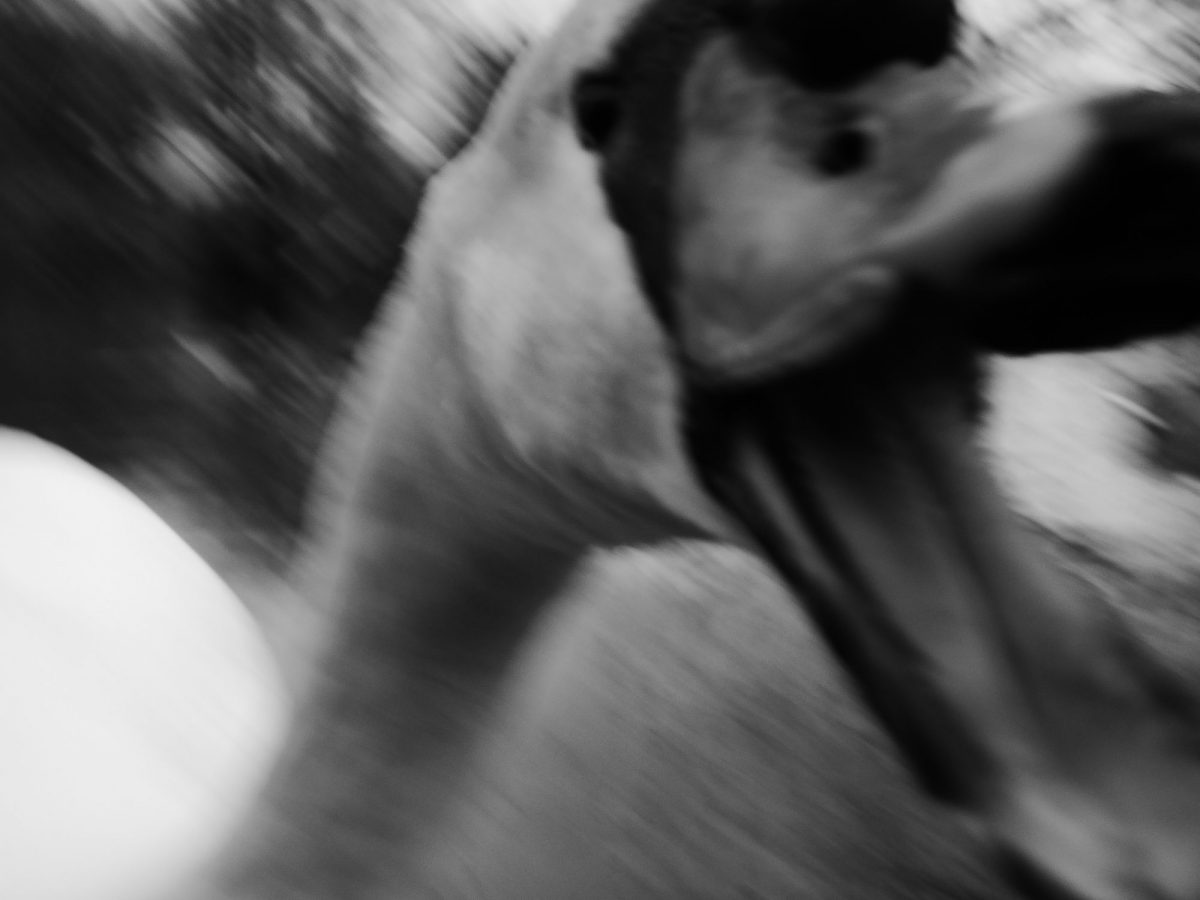 Blurred image of an aggressive swan, with its beak open