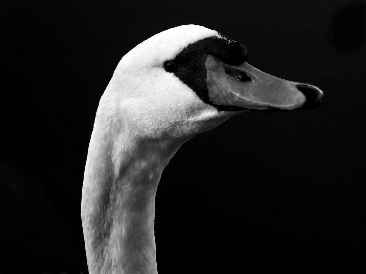 Black & white photograph a swans head