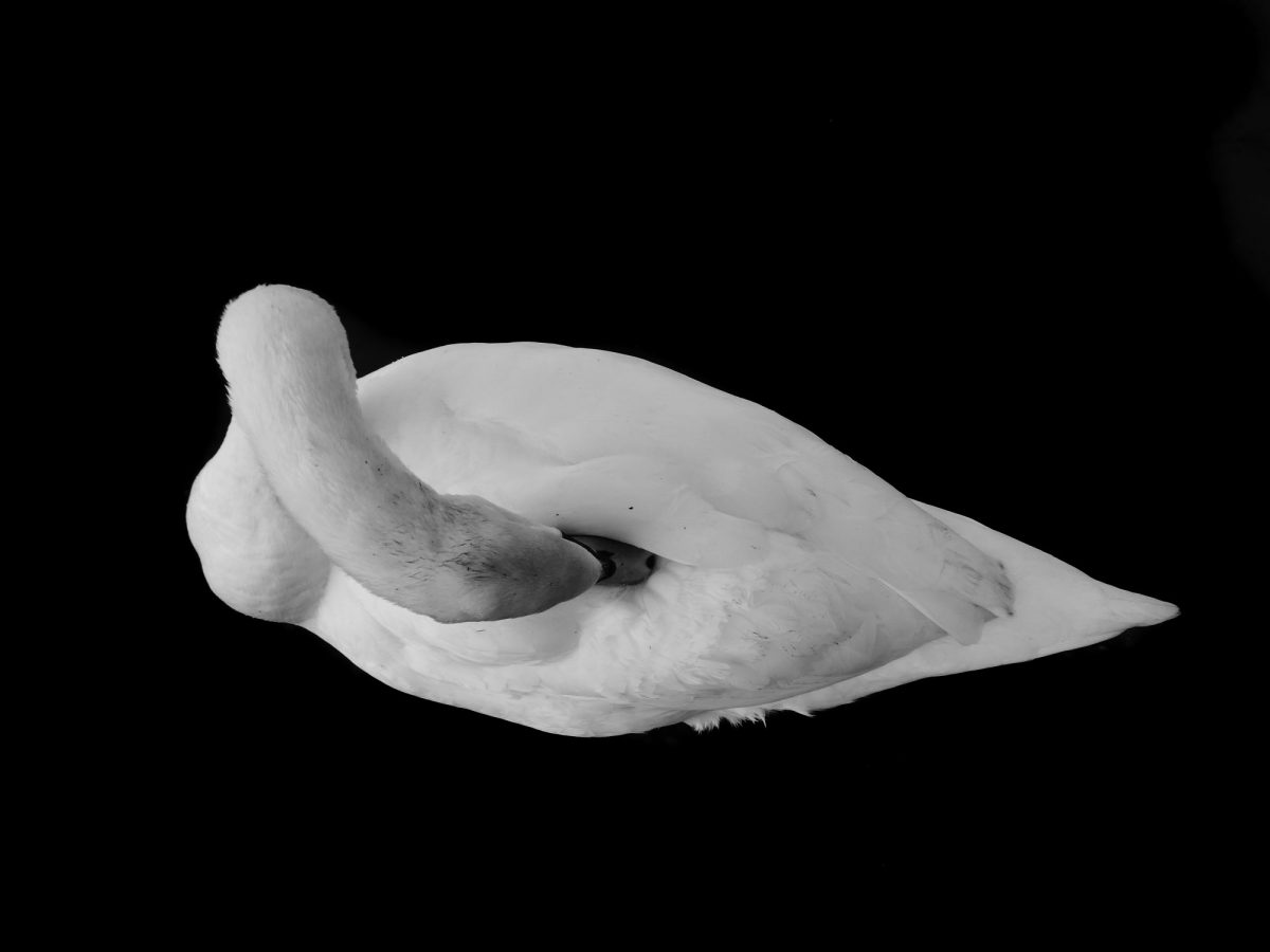 Swan cleaning itself, on a black background