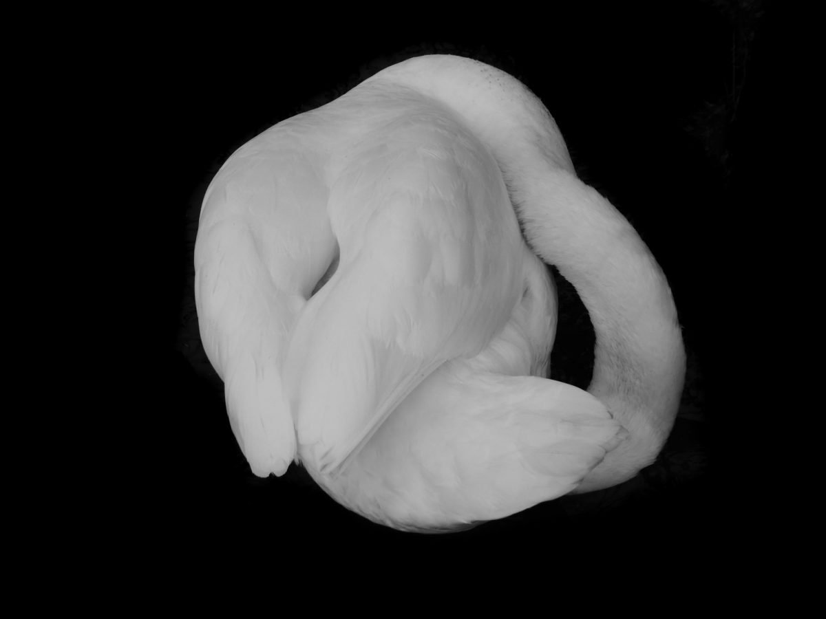 Curled up swan in on a black background
