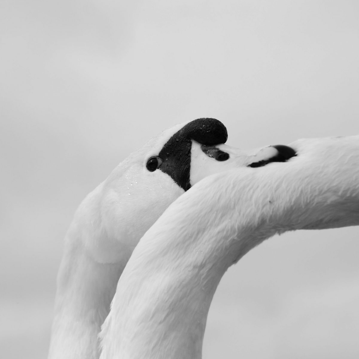 Swan biting another swans neck