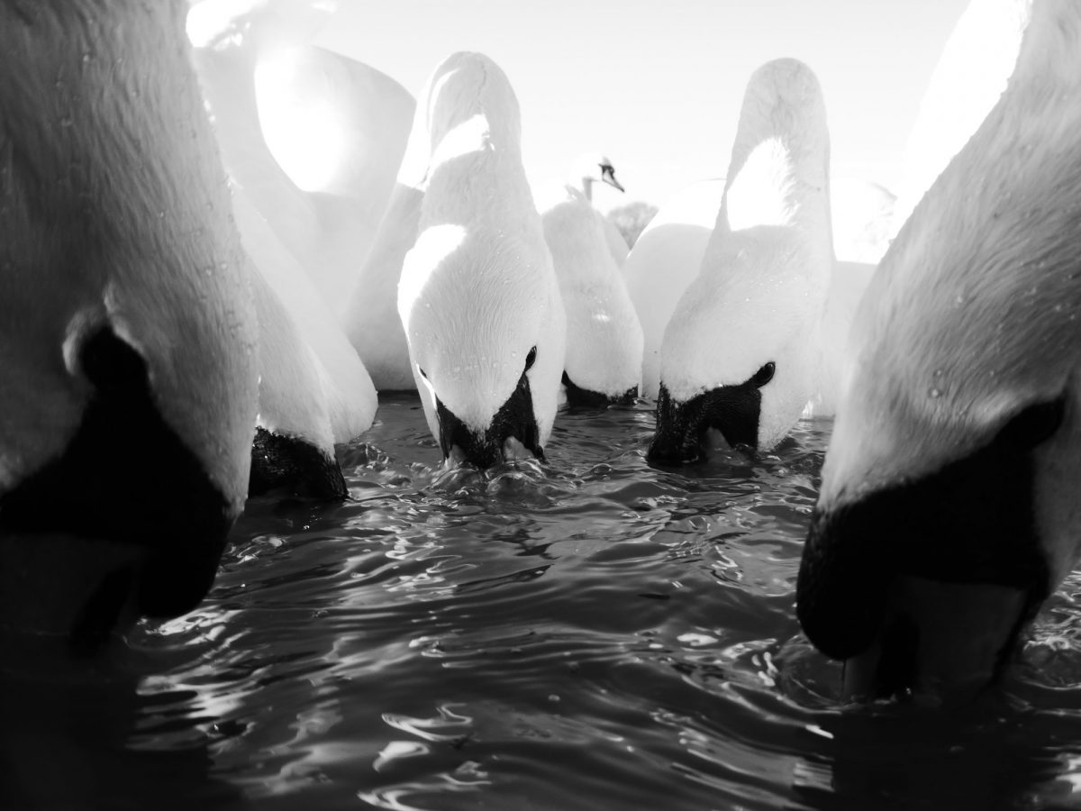 Multiple swans with their beaks submerged in water