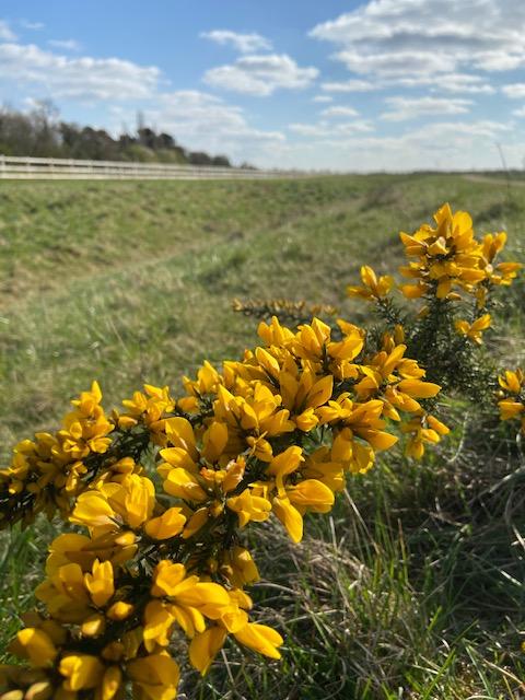 Yellow flowers in a fields